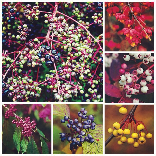 Gardendesignmag Year Round Color With Berry Bearing Plants Now On