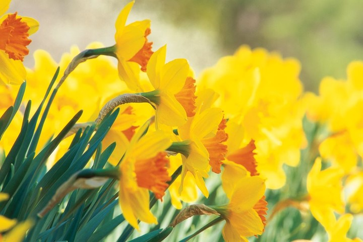 Are your daffodils blooming? . Pictured: Narcissus 'Pimpernel' is a large cup da...