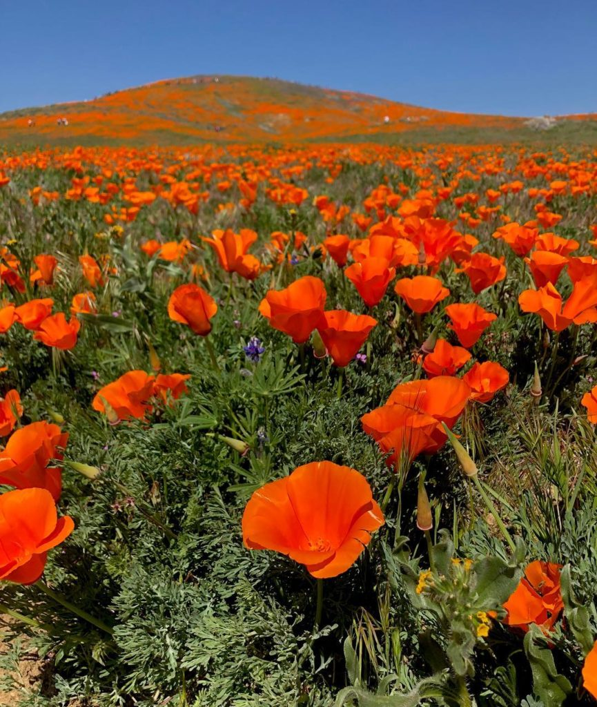 Poppies galore! Thanks to last winter's abundant rainfall, the curvaceous Antelo...