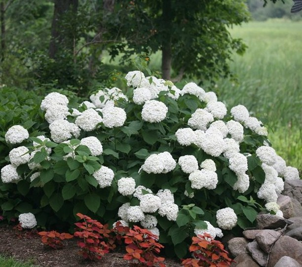 What's your favorite shrub? . There's so many to choose from: hydrangea (picture...