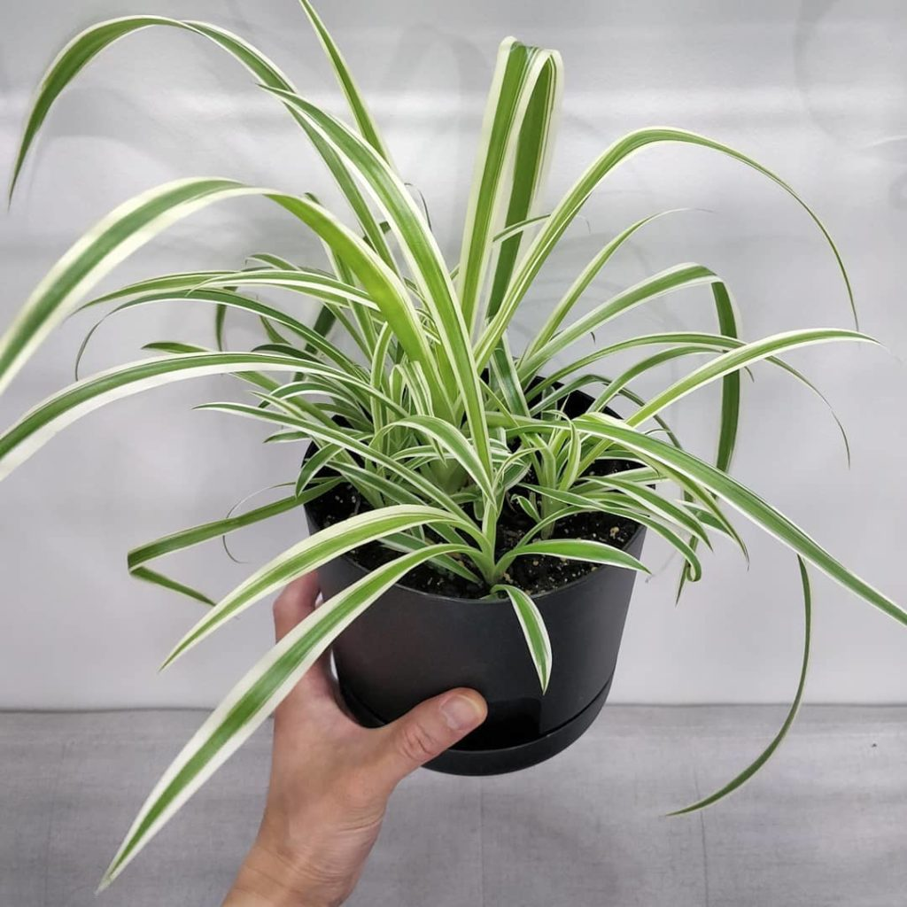 Story time: I'm so proud of this orphan pot of spider plants - here's a current ...