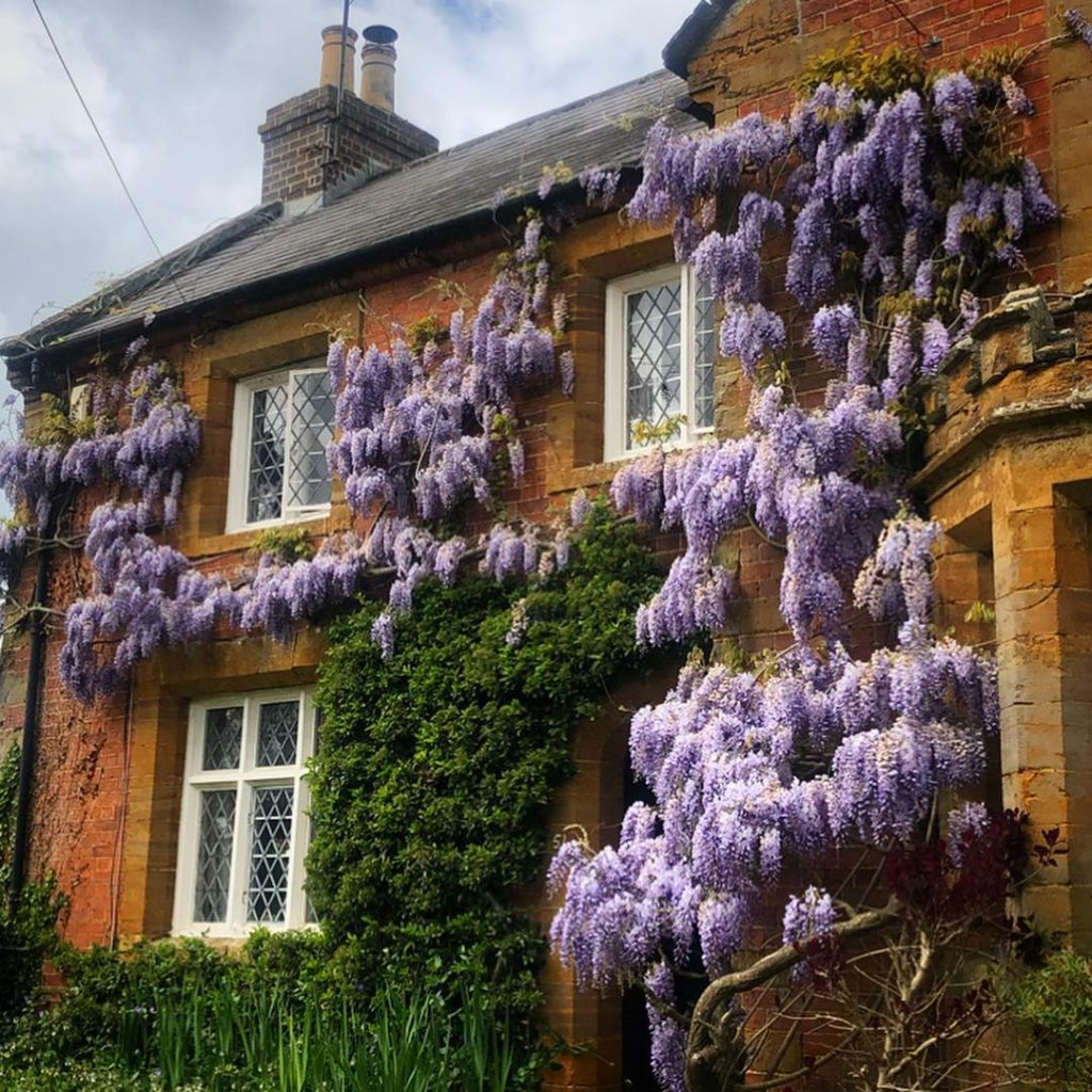 It's slightly colder in the country so the Wisteria hysteria could continue this...