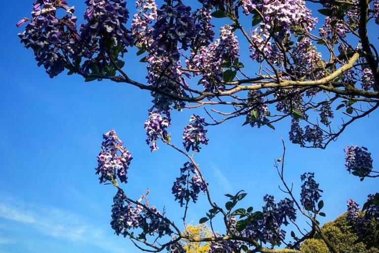 After the magnificent Magnolia and the Wisteria hysteria there should be a new k...
