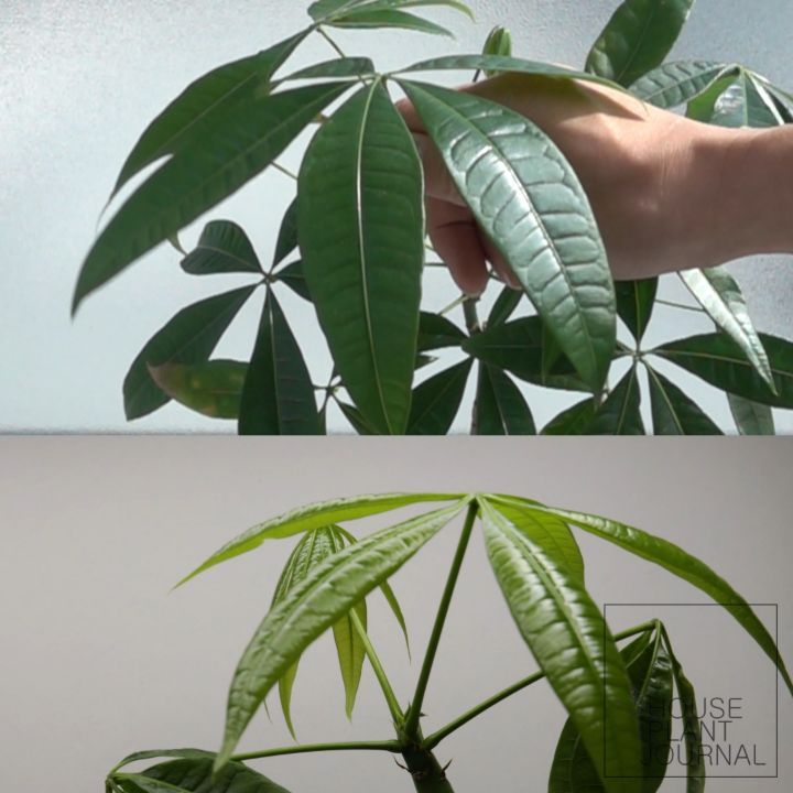 Here's a money tree (Pachira aquatica) growing over 9 days. - Observation: why d...