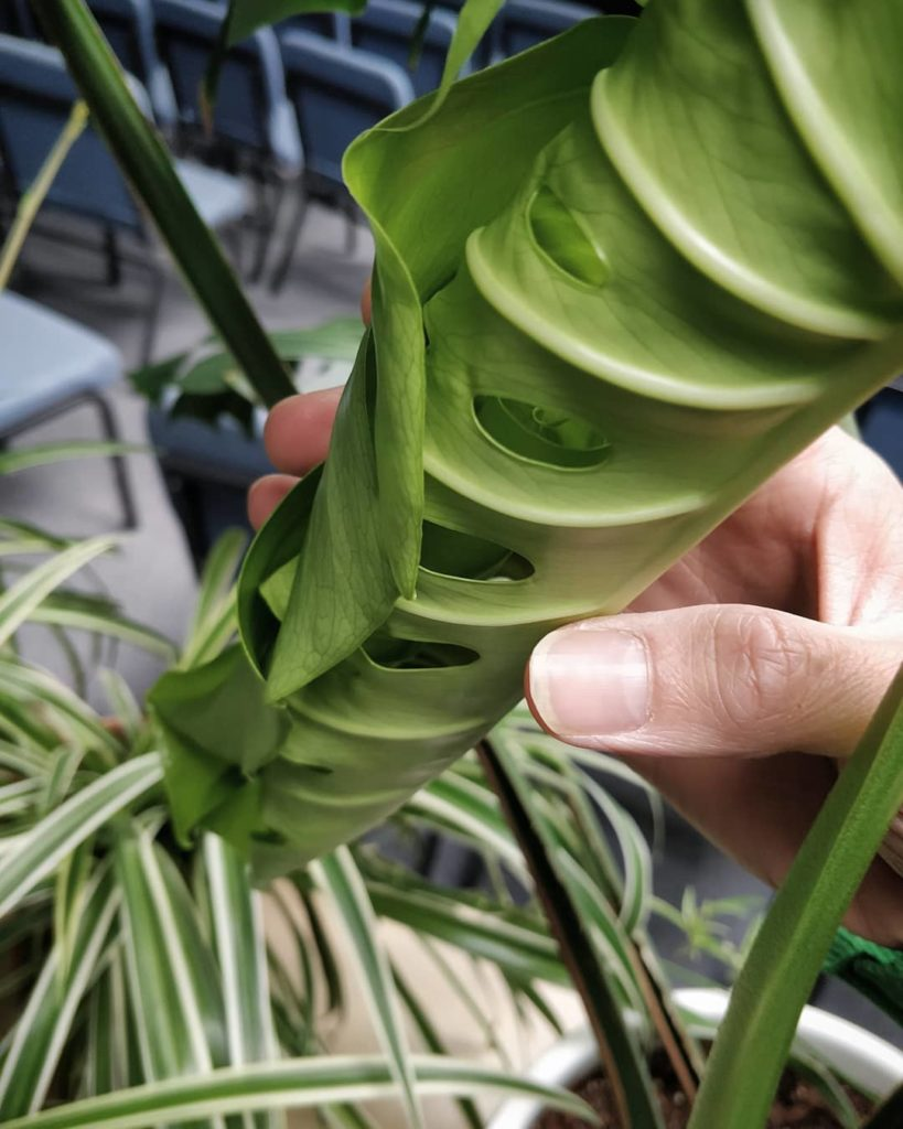 Clarifications for #MonsteraMonday - people often read that as a Monstera delici...