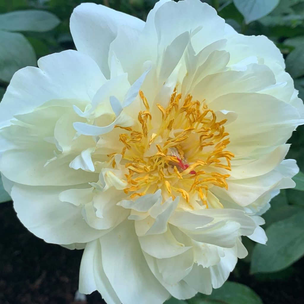 @primrosehalluk an #rhschelsea gold medal winning Peony grower supplied these be...