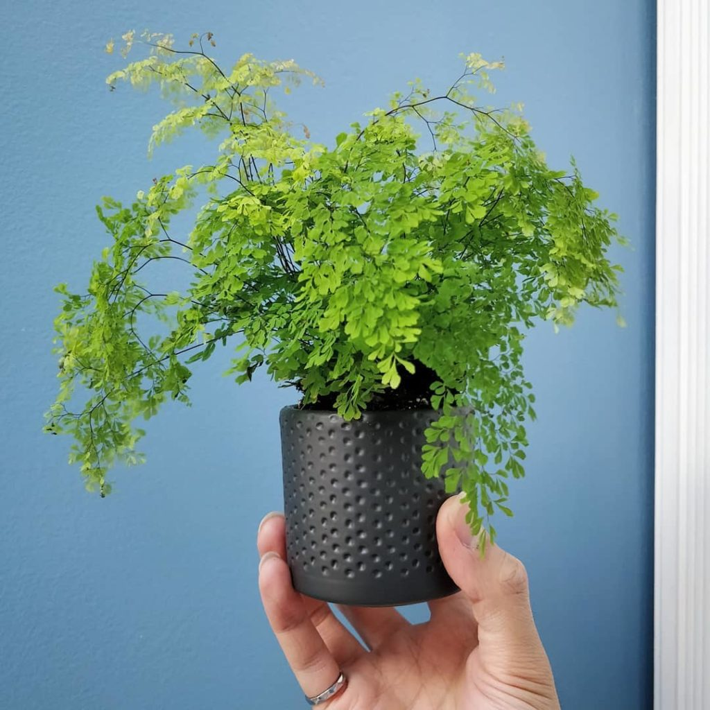 New blog post: Maidenhair fern care - link in profile - Here's an interesting ty...