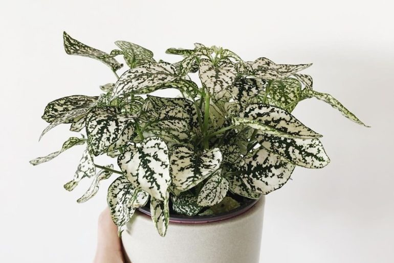 The patterns on Hypoestes splash leaves are everything.  Best way to give the gi...