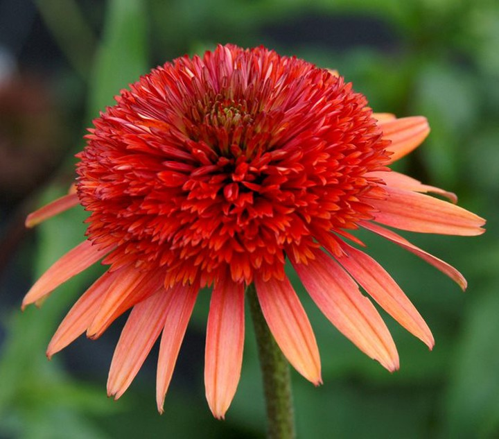 Coneflowers make an excellent choice for cut #flowers with their long, strong st...
