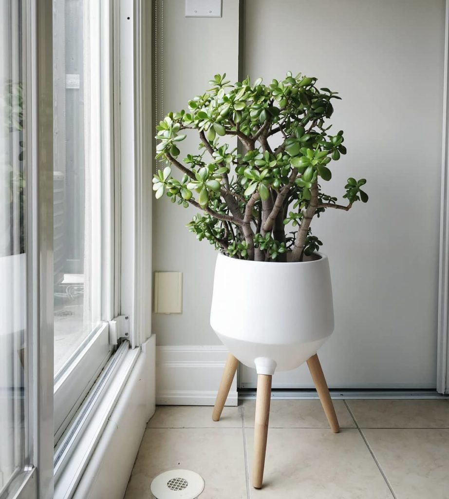 A happy jade plant: this season, it's finally free from mealy bugs! In my book, ...