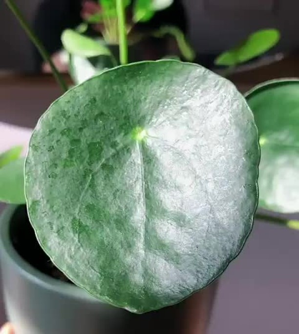@farmernicknyc is giving a closer look at his Pilea peperomioides. Here are some...