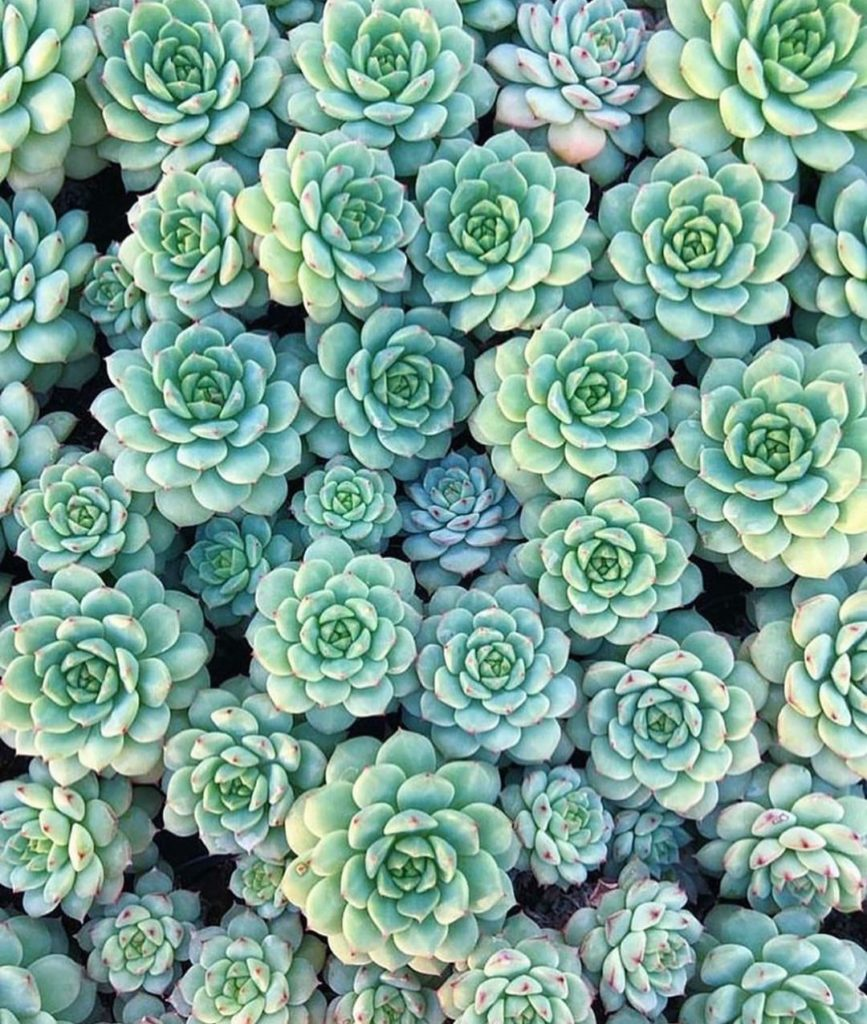 Sea of Echeveria Chris  also... have you entered our giveaway yet?...