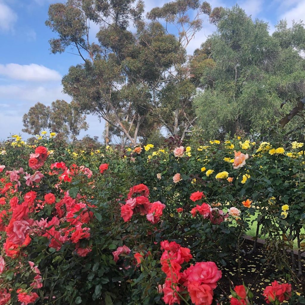 Coming up roses at @balboapark in #sandiego...