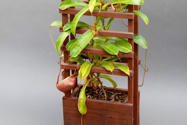 Technically a window box but we normally keep it hanging in the Nepenthes corner...