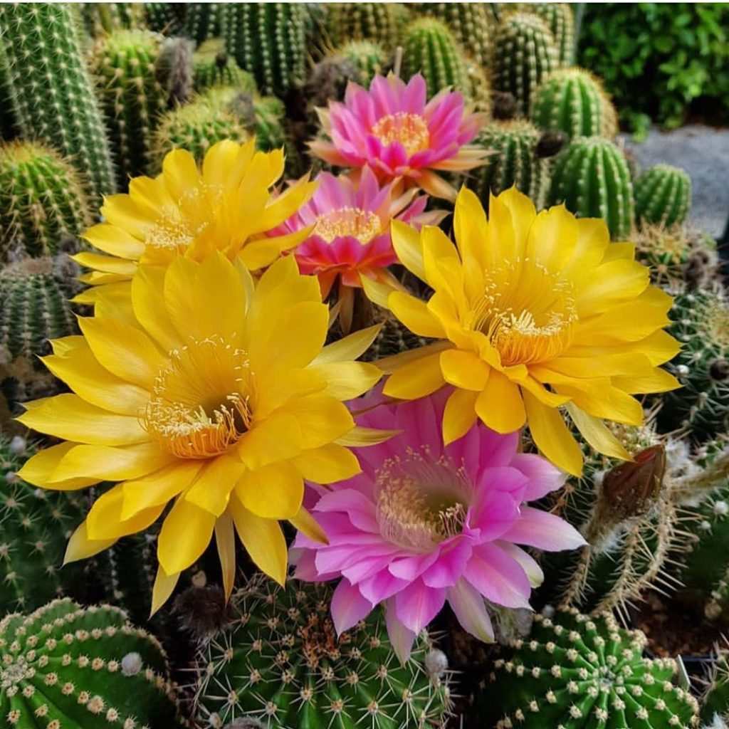@nicolochiarin's cacti blooms look like they're all dolled up for the weekend! #...