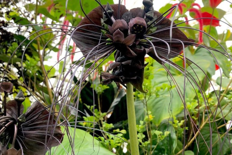 In deep  The bat flowers are in full flight in the Bay Area! This wild whiskered...