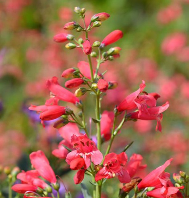 Want to make the hummingbirds in your garden very happy? With 100's of varieties...