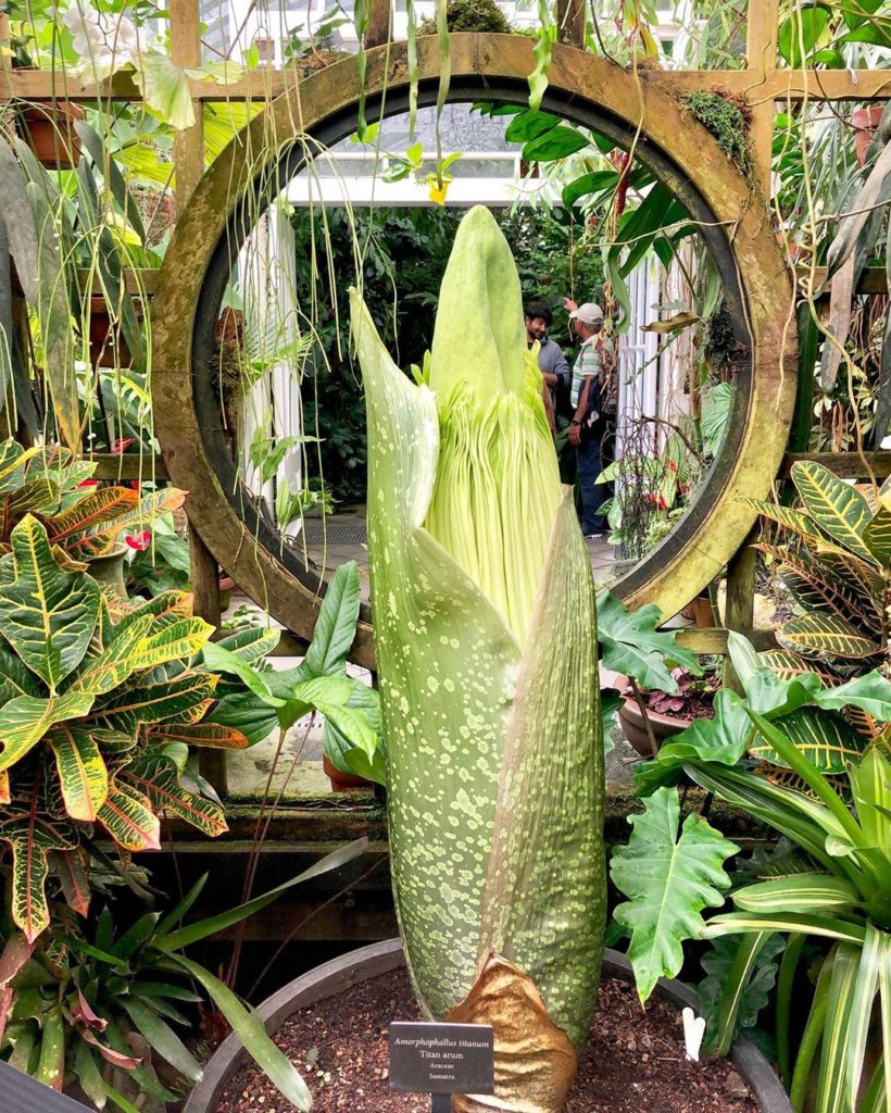 Flashback to last week's visit to the drop-dead stunner of a #corpseflower at @s...
