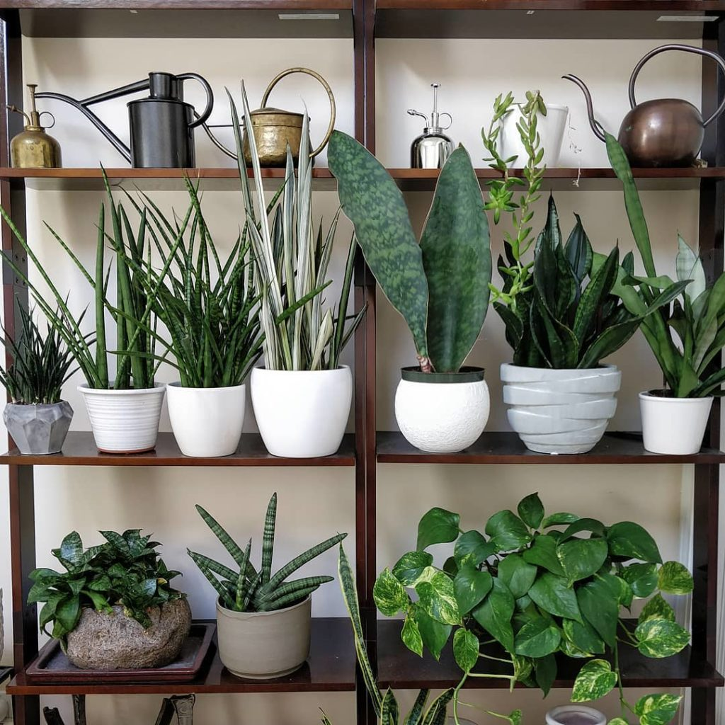 #plantshelfie for #SansevieriaSunday - note: all of these plants have a big view...