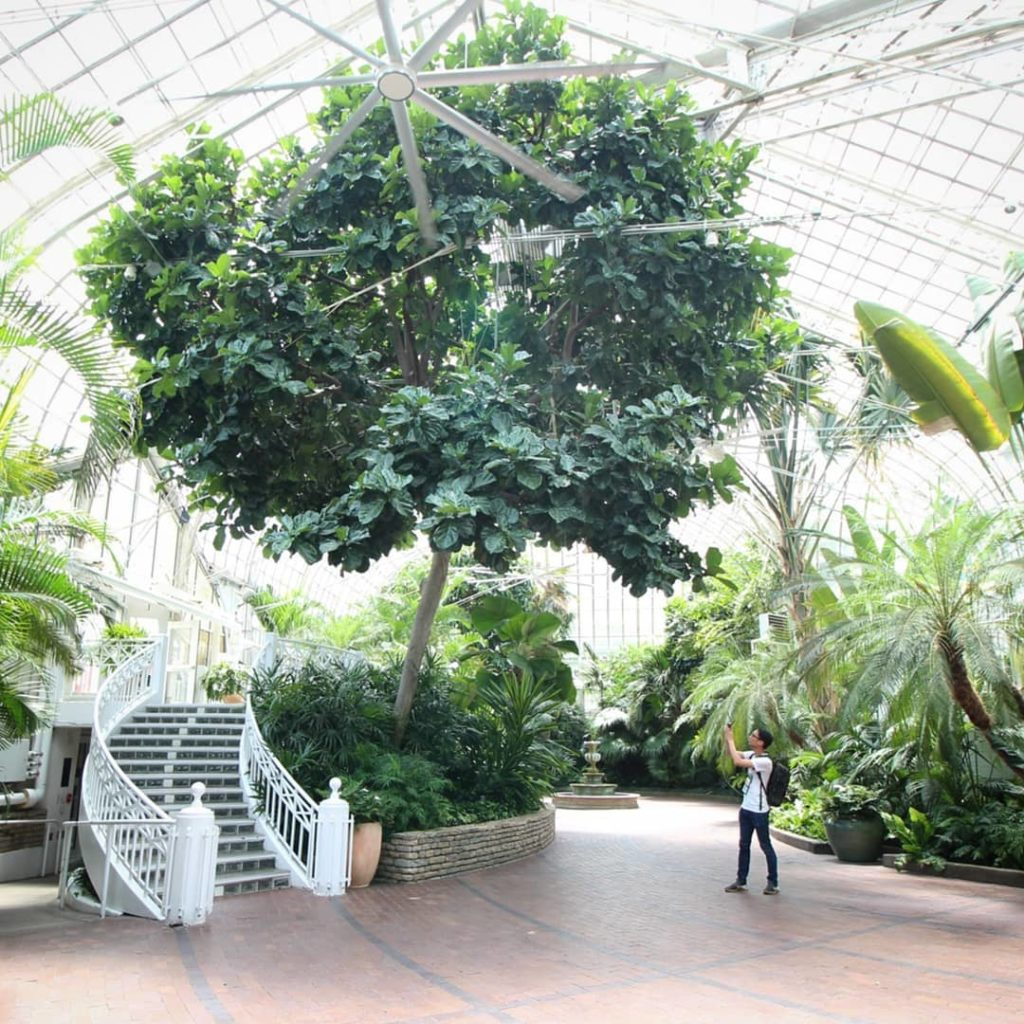 100+ year old fiddle leaf tree at the @fpconservatory - 2️⃣ have a...