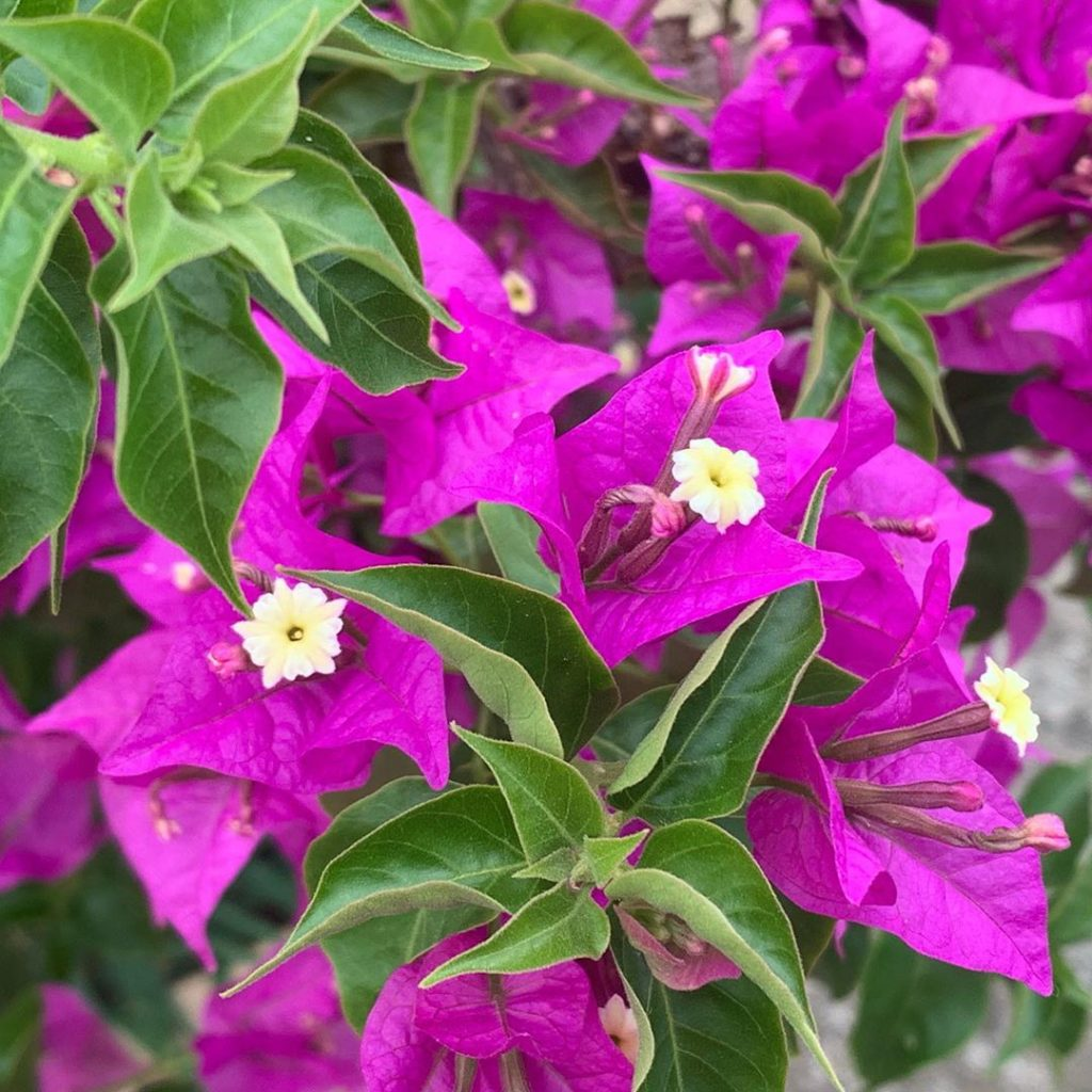 Loud & proud with gnarly stems & totally in your face' flowers #bougainvillea gr...