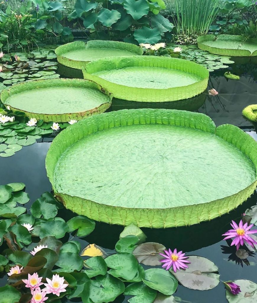 A water lily moment from @loveshovel 's visit to @longwoodgardens Should we add ...
