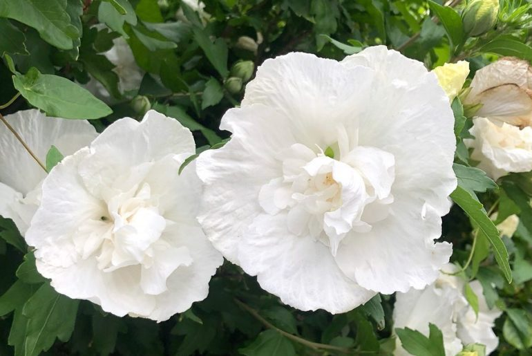 Hibiscus make me happy! Love their large cheery summer blooms, which are evocati...