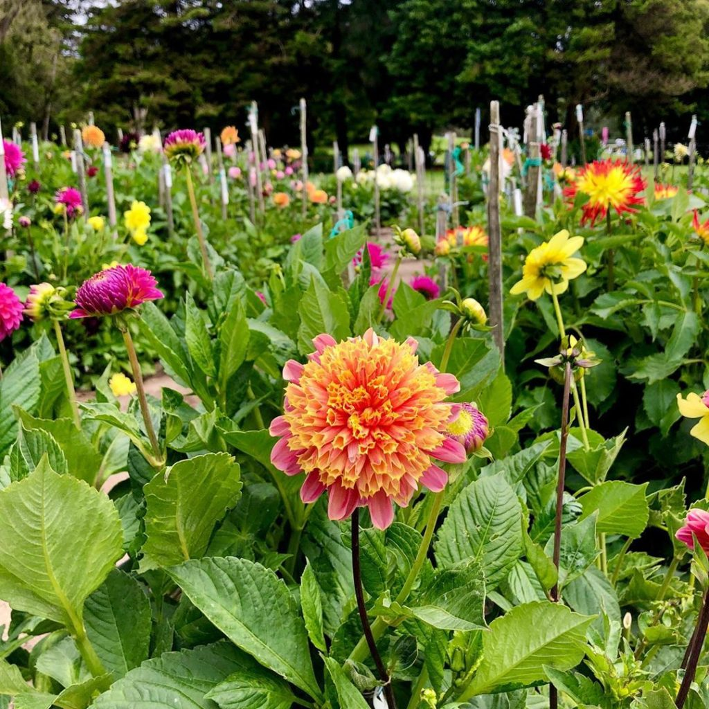 Louis Armstrong voice: HelloOoo dahlia  From last month's trip to the @conservat...