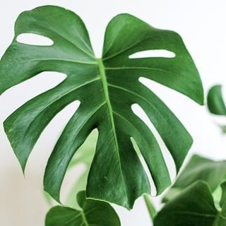 NYC, you can get the Monstera you've always wanted.  We're piloting local in-hom...