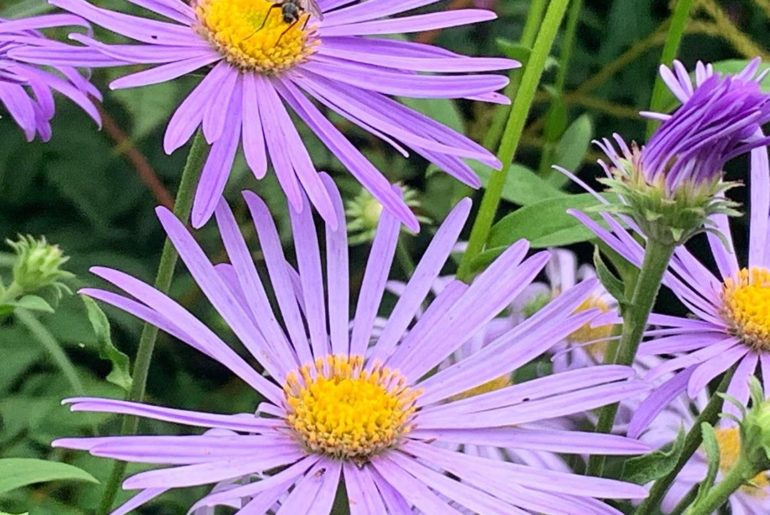 Daisy power... finely cut petals with golden centres make this long flowering & ...