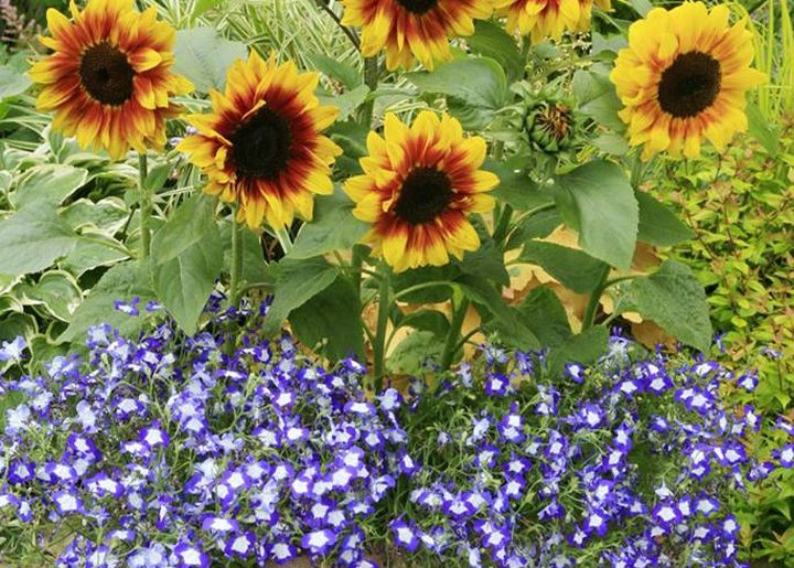 So sunny! 'Solar Flash' is a sturdy, shrubby, 2-foot sunflower—just one of many ...
