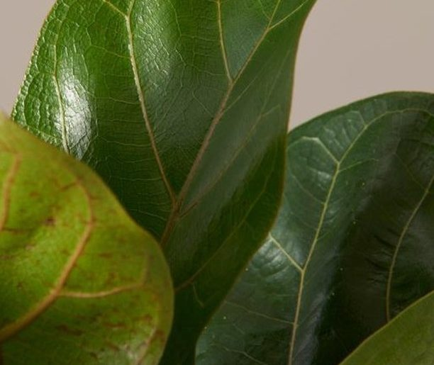 It's the moment we've all been waiting for: Fiddle Leaf Figs are back in stock o...