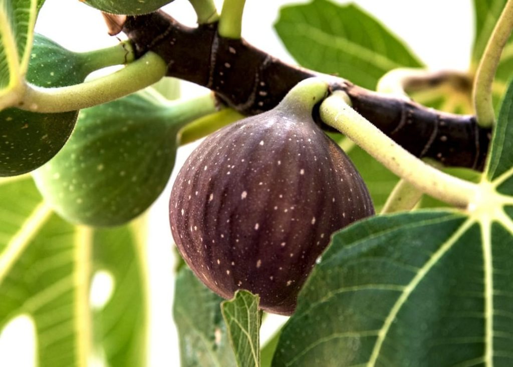 Gardening Tip in Southern California: Fig trees can be cut back after the last c...