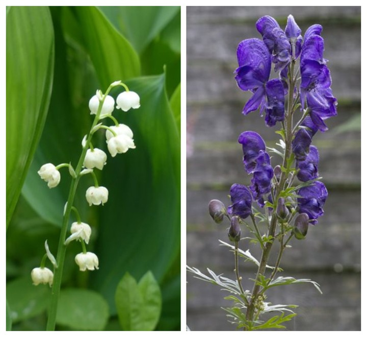 Which deer-resistant beauty is your favorite? . Lily of the valley on the left, ...