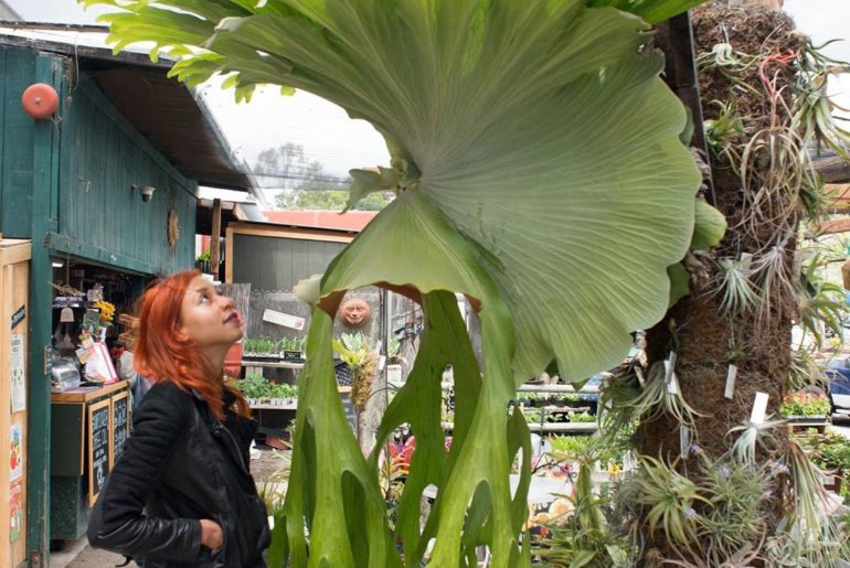 Flashback to when Chantal came face to frond with the Platycerium superbum (aka ...