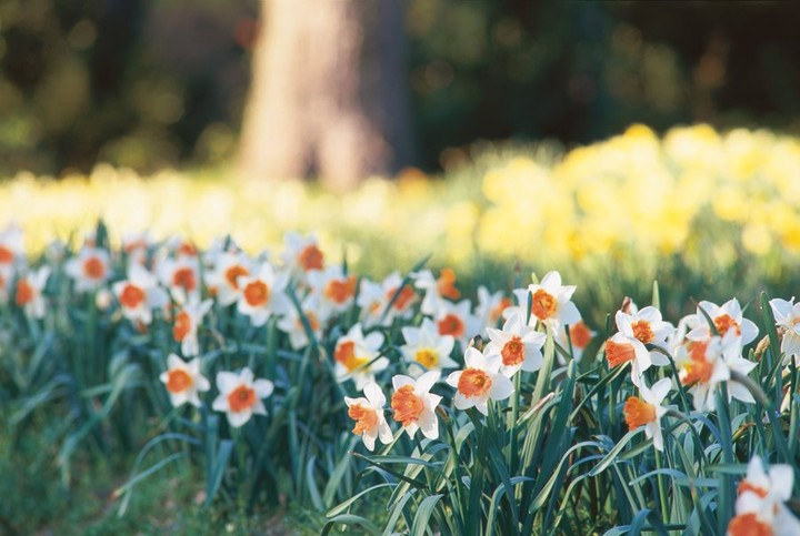 When planted properly, daffodils are low-maintenance, reliable bloomers, are you...