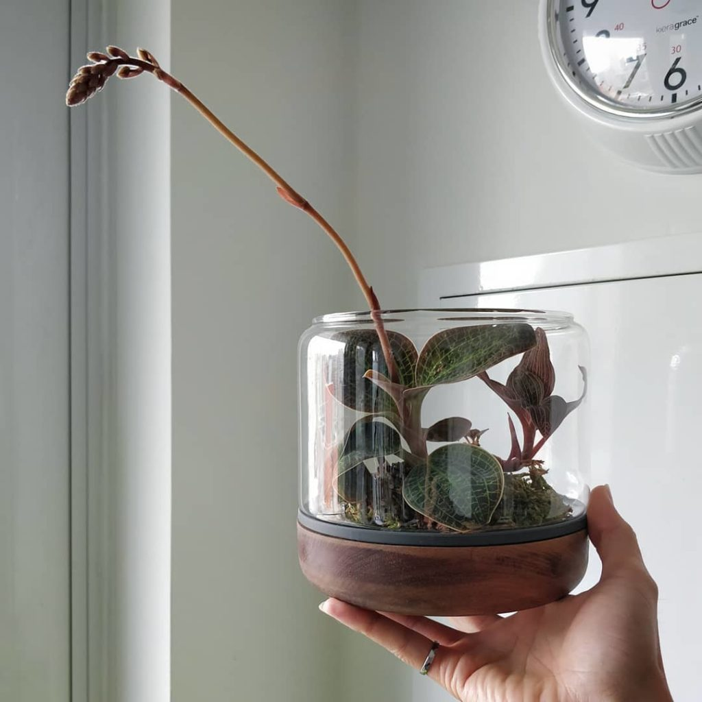 Just like my jewel orchid stepping out of its container, I'll be coming out to d...