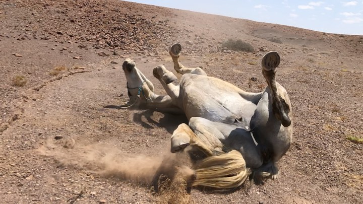 ...saddle off - roll...no better feeling for these amazing horses ...