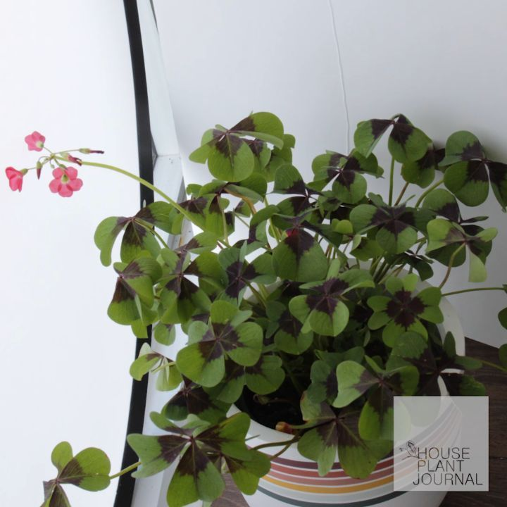 "Oxalis tetraphylla (""Iron Cross"") - as it turns out, my godfather likes to propa..."