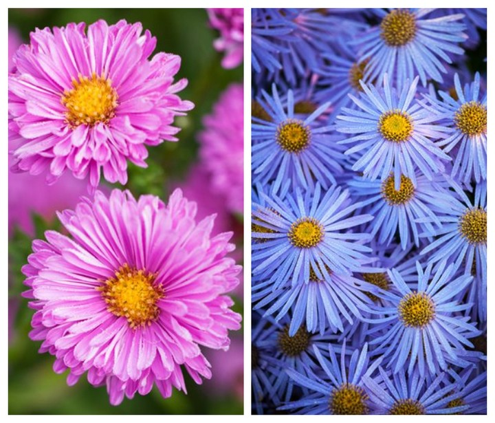 Which aster do you prefer, the pink 'Patricia Ballard' for Zones 4-8, or the blu...