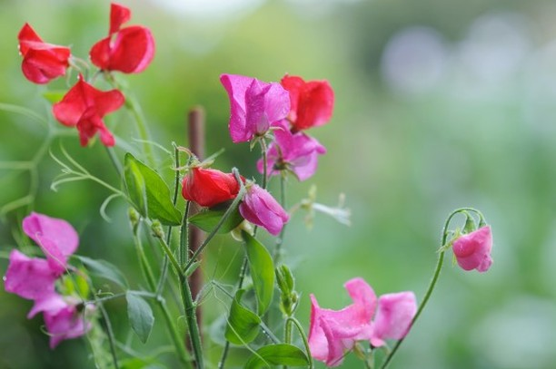 Sweet peas are a staple of cutting gardens because the flowers are beautiful, co...