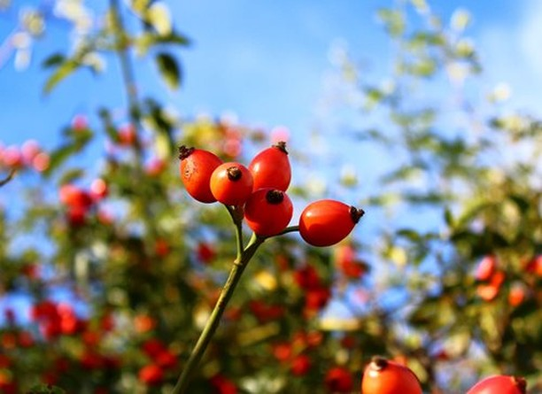 Gardening Tip: Let roses form rose hips. . After roses finish blooming in the fa...