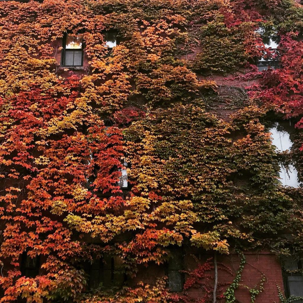 Boston ivy, Boston #Parthenocissustricuspidata wrapped in the colours of autumn ...