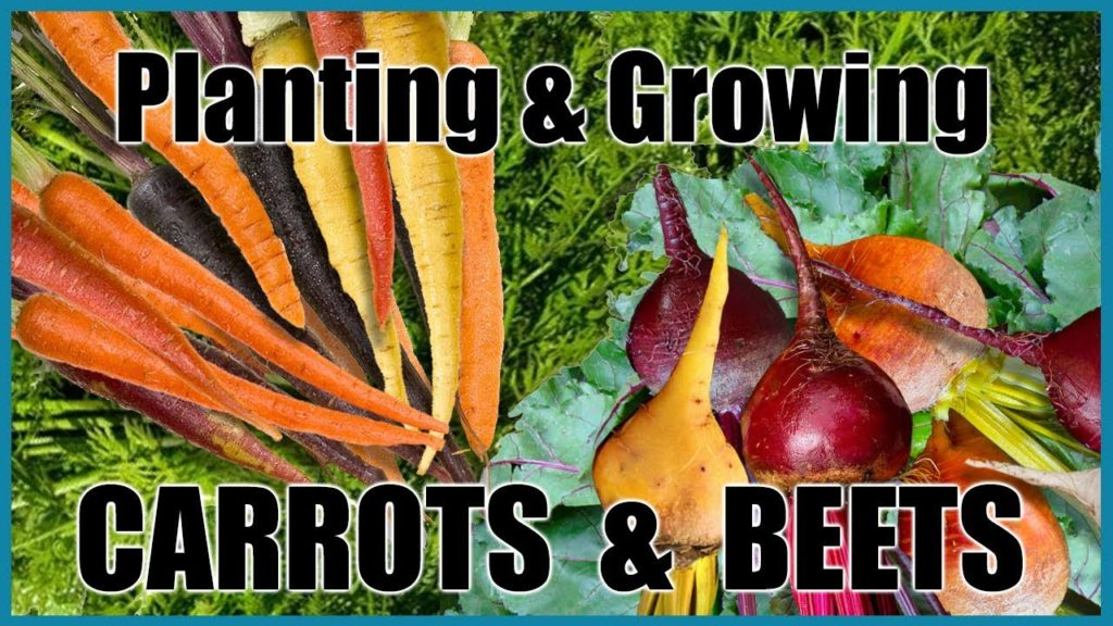 Planting & Growing Carrots and Beets (Cool Season Vegetables)