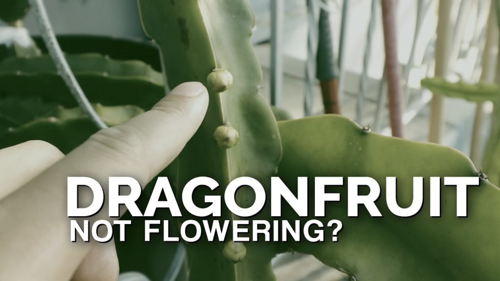 How to Grow Dragonfruit Part 3: Inducing Flowering