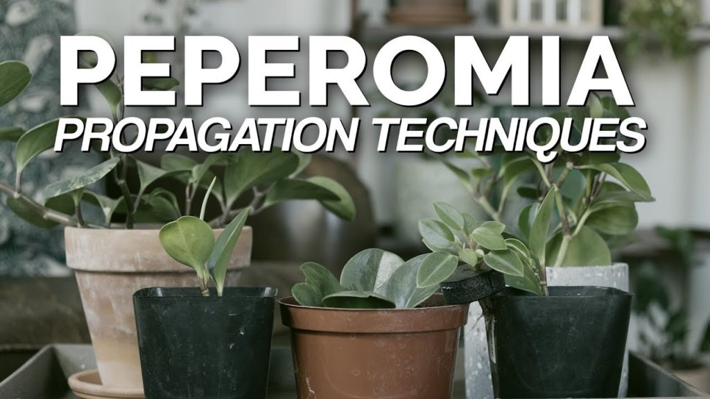 How to Propagate Peperomia: 2 Easy Methods