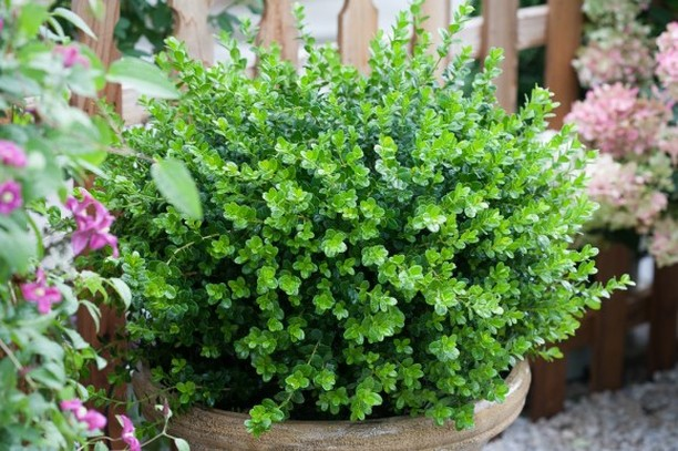 If you missed our recent newsletter, you missed: -Boxwood (+ helpful hints if bl...