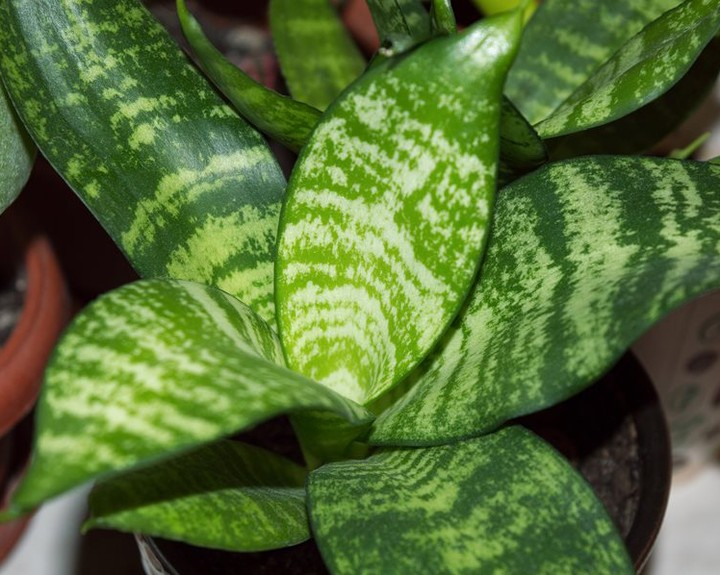 Snake Plant is an effortless houseplant: -Tolerates relocation well -Isn't fussy...
