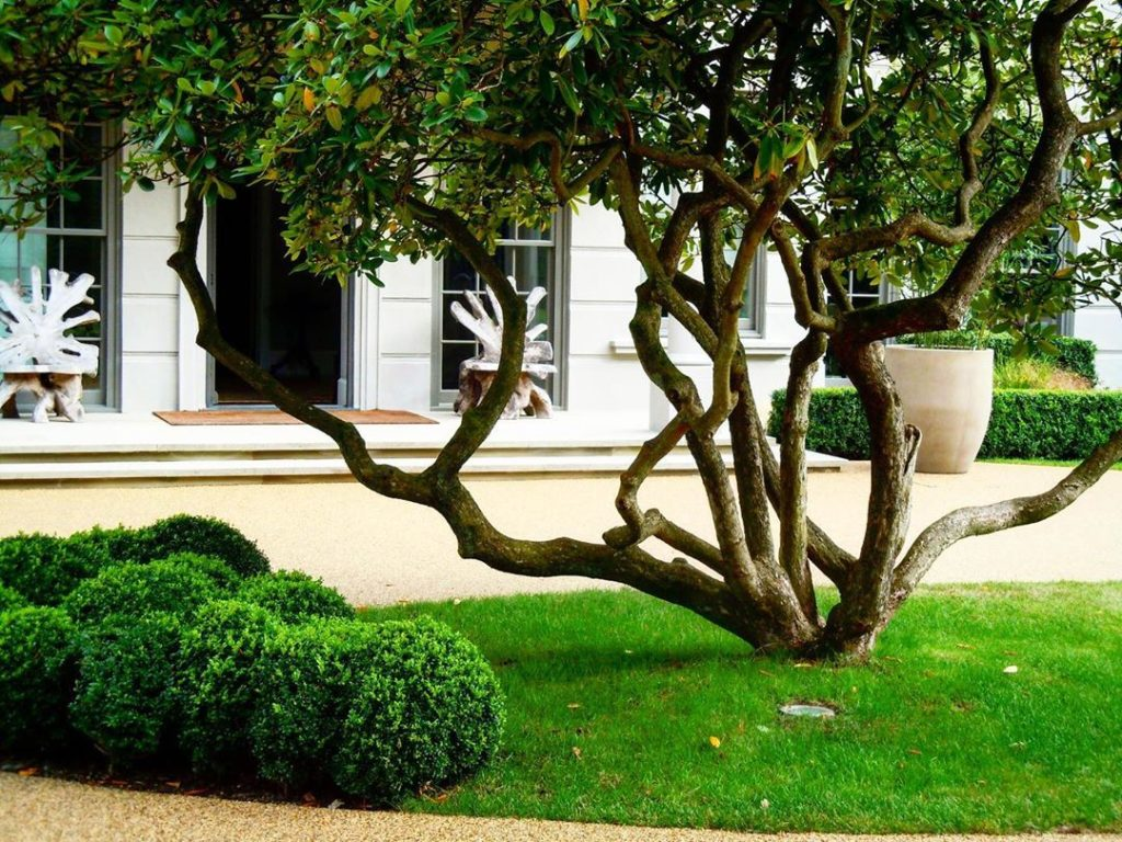 Monday morning tidying up job...!Amazing sculptural shrub we planted as a focal ...
