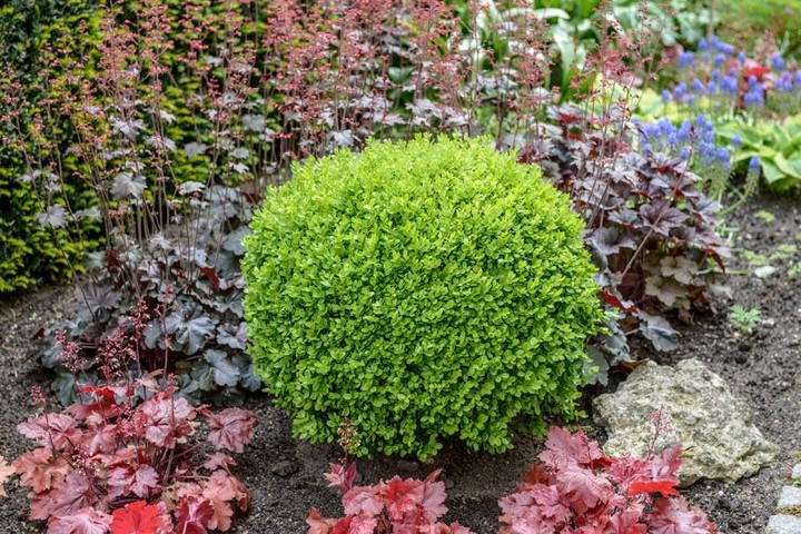 Boxwoods are easy-care evergreen shrubs, learn how to design with them along wit...